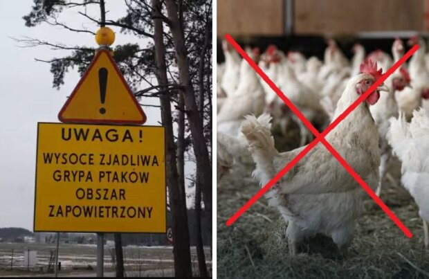 Ptasia grypa ponownie aktywna. Mieszkańcy całego województwa muszą unikać kontaktu z ptactwem
