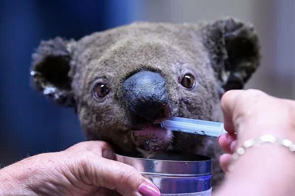 Jak wesprzeć koale z Australii? Ich domy zostały doszczętnie zniszczone