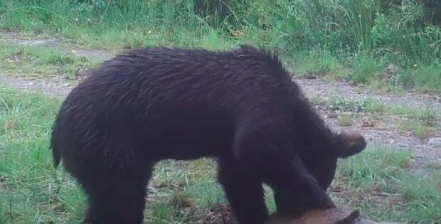 Niedźwiedź brunatny zaobserwowany w Hiszpanii / screen YouTube
