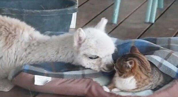 Ta alpaka uważa, że jest jednym z kotów!