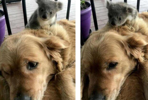 Historia, która dotknęła całą Australię: pies myśliwski uratował koala