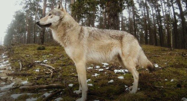 On uratował małego wilczka, a po latach Wilk przyszedł mu z pomocą