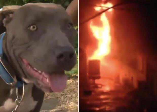 Ten pitbull to prawdziwy bohater