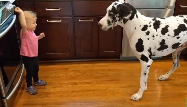 Spotkanie wielkiego psa z małą dziewczynką. Zwierzę zrobiło coś, czego nikt się nie spodziewał