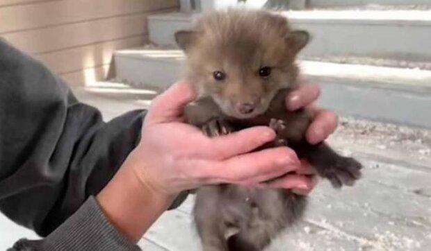 Profesjonalista uratował małe lisy spod ganku domu