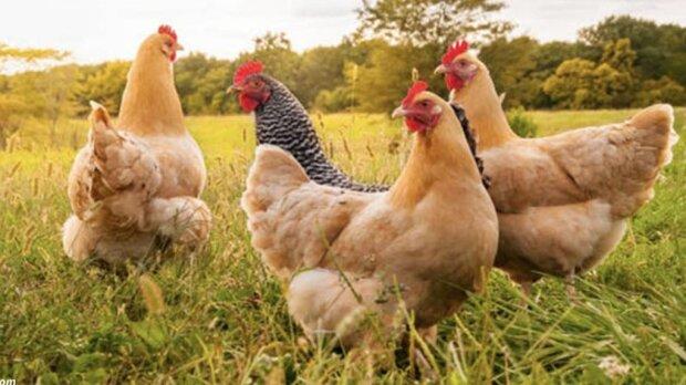 Francuski rolnik zaczął używać kurczaków zamiast pestycydów. I to działa!