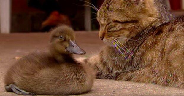 Przyjaźń pomiędzy kotką i kaczuszką. Uczucie, jakimdarzą sięzwierzęta jest nie do opisania