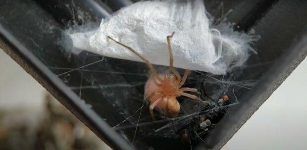 Na tego pająka trzeba uważać. Coraz częściej pojawia się w naszych domach. Jest niebezpieczny