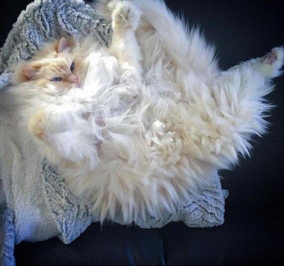 Niezwykle puszyste włosy tego kota sprawiają, że wygląda jak chmura